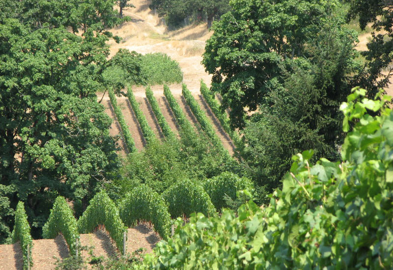 Pelos Vineyard