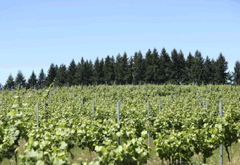 Wahle Vineyard